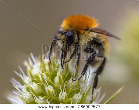 Great Yellow Bumblebee (bombus Distinguendus). Wild Bee On Wildflower Eating Nectar In Nature Reserv