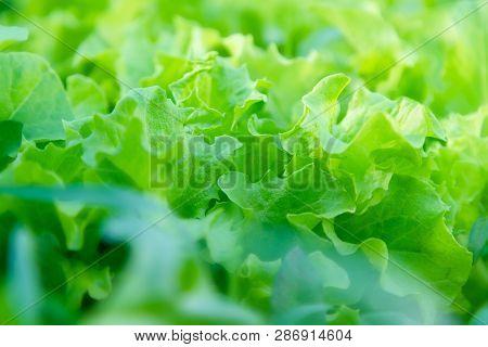 Fresh Home Grown Lettuce. Growing Organic Vegetables. Urban Farm