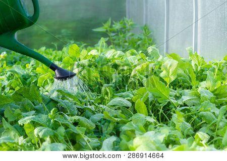 Watering Vegetables In Greenhouse. Growing Organic Vegetables. U