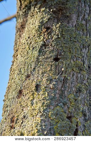 A Tree Infested By The Asian Longhorn Beetle In Magdeburg. The Beetle From Asia Was First Registered