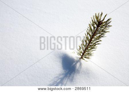 Survival Spruce Tree