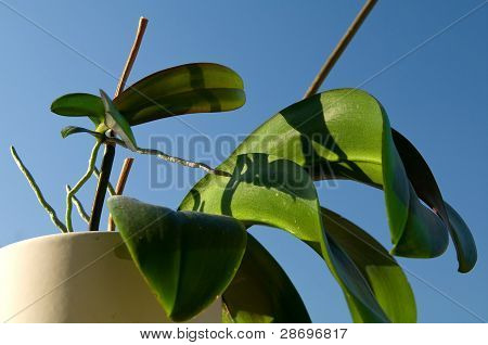 Keiki Of Phalaenopsis