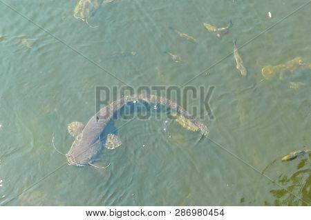Catfish Near The Surface Of The Water, Catfish Bottom Fish Scavenger.