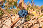 closeup of cluster black wine grapes in withered vine branch in winter or autumn season, in Castile, Spain, Europe poster