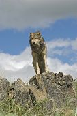 Gray wolf against the skystanding above the photographer poster
