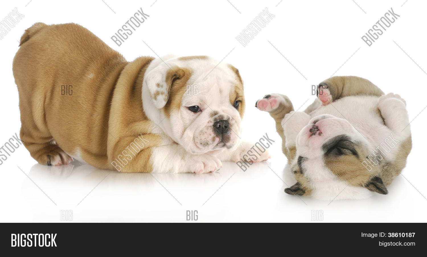 Puppies Playing Two Image Photo Free Trial Bigstock