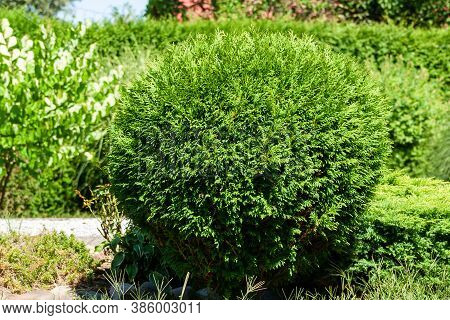 Garden With Cut Decorative Bushes Plant. Outdoor Natural Decoration.