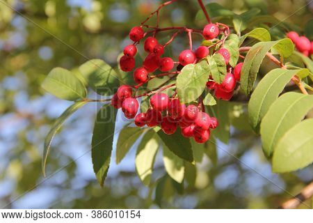 Branch Of Sorbus Aucuparia Tree With Red Berries And Green Leaves In The Background Of Blue Sky In A
