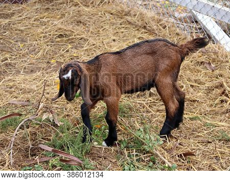 Dark Brown Color Of Young Goat Standing And Eating The Tree Top On The Floor. It Is A Hardy Domestic