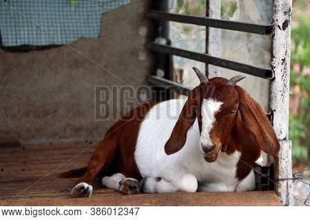 Brown And White Color Of Goat Laying Down On The Wooden Stall. It Is A Hardy Domesticated Ruminant A