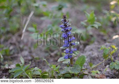 Flora In Ukraine. Blue Flowers Of Bugle Or Bugleherb (ajuga Reptans).
