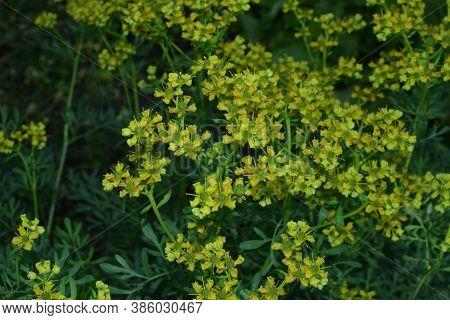 Common Rue With Flowers, Ruta Graveolens, In Garden, Selected Focus