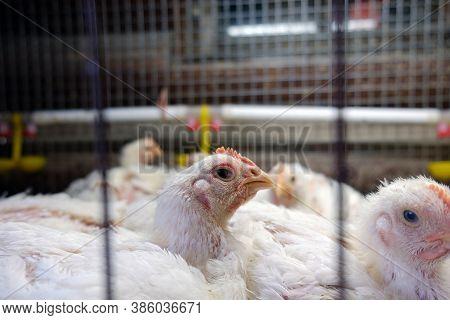 The Brazen Look Of A Broiler Chicken