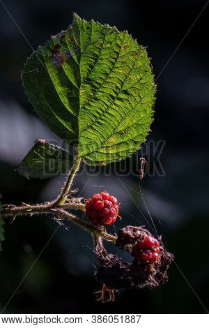 A Portrait Of A Black Berry Which Is Still Red And Thus Not Ripe Yet. Next To The Berry There Are So