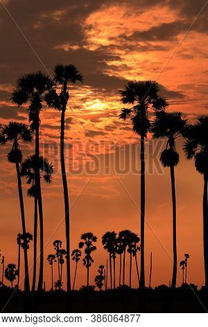 Silhouette Photography With The Backlight Of The Sun Sugar Palm, Pathum Thani, Thailand