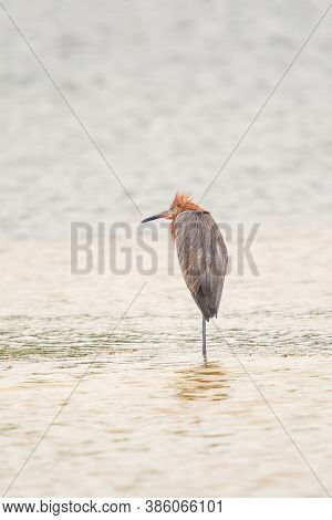 Reddish Egret (egretta Rufescens) Resting On One Leg In J.n. Ding Darling National Wildlife Refuge.