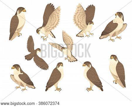 Set Of Predatory Bird Cute Adult Falcon Cartoon Animal Design Birds Of Prey Character Flat Vector Il