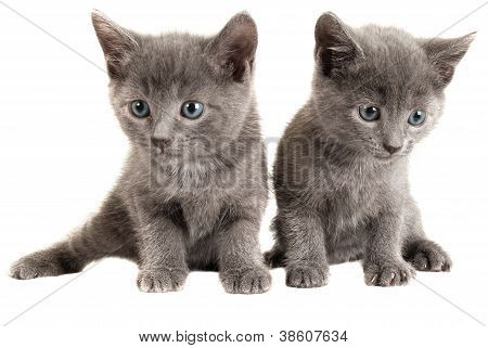 Blue Eyed Grey Kittens On White