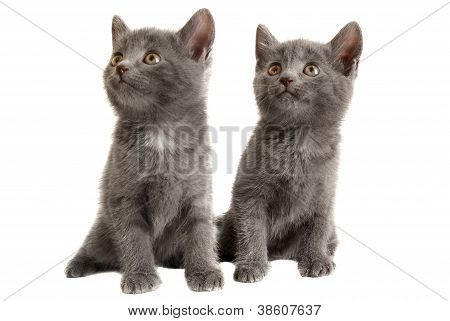 Two Grey Kittens On White Background