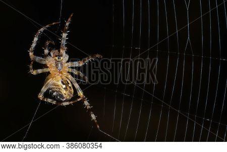 Single Mail Garden Spider (araneus Diadematus) In Process Of Building His Web. Arachnid Preparing To