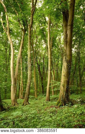 Majestic Beeches In The Green Forest. Magic Relaxing Tranquility In The Green Forest. Image Made On