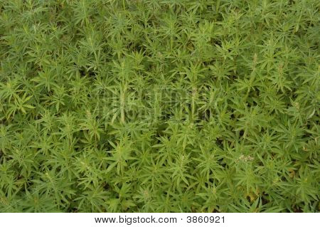 This is a field with hemp. Picture was