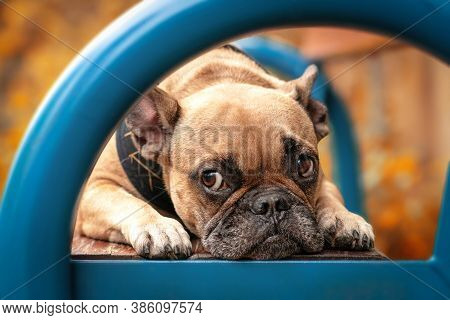 Adorable Small French Bulldog Dog With Sad Eyes Lying On Colorful Blue Bench With Blurry Trees With