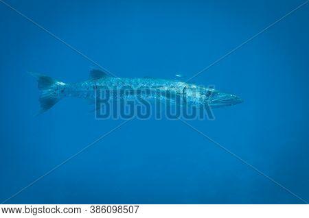Great Barracuda In The Deep Blue Ocean