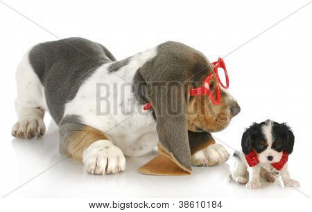 playful puppies - cute bassett hound puppy playing with cavalier king charles spaniel puppy poster