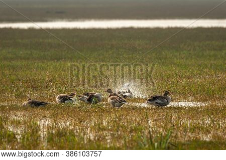 Greylag Goose Flock Playing In Open Grass Field And Wetland Of Keoladeo National Park Or Bharatpur B