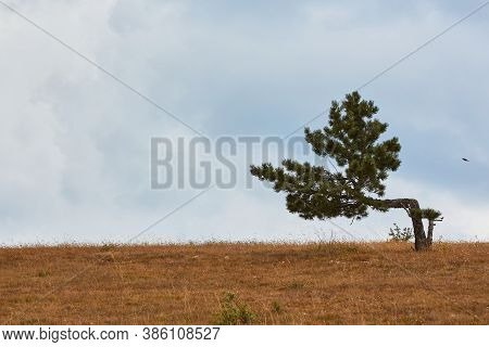 Lonely Pine-tree In Meadow. Blue Cloudless Sky. Desert Terrain And Virgin Nature Concept. Copy Space