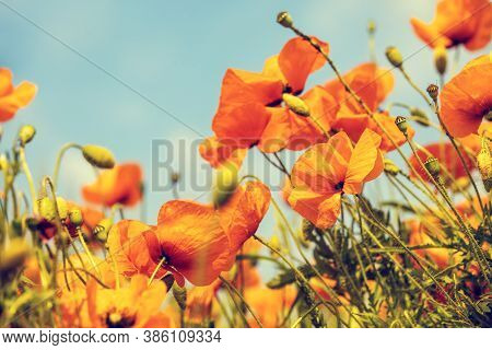 Blossoming Poppies Field. Wild Poppies (papaver) Against Blue Sky. Flower Nature Background