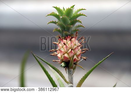 Tiny Pineapple On The Tree. A Tropical Fruit Surrounded By A Tough Segmented Skin And Topped With A