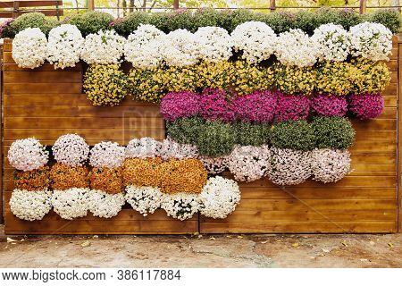 Vertical flower arrangement photozone of autumn flowers at the Chrysanthemum Festival. Wooden wall decorated with pots with blooming chrysanthemums. Vertical gardening. Ecological urban project