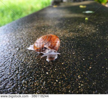 Slow Snail Moving Along A Brick. Snail On Stone