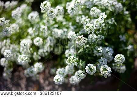 White Flower. Alyssum Bush, Also Called Sea Lobularia, Or Beetroot. Blur The Background, Select Focu