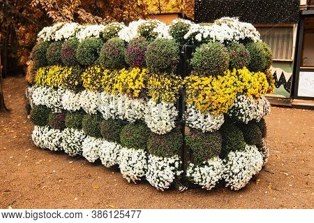 Chrysanthemum Festival. Decorative Wall Of Bright Potted Chrysanthemums For The Autumn Flower Festiv