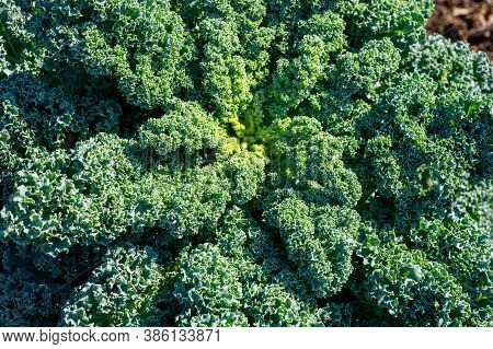 Organic Green Leaf Curly Kale Cabbage Growing In Garden