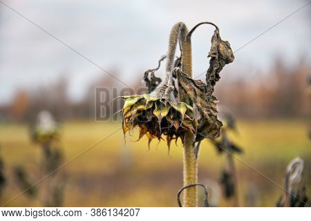 Withered Sunflower On The Field In Late October Evening In Espoo, Finland.