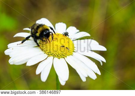 Bumble Bee Sucks Flower Nectar From Daisies