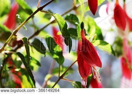 Fuchsia Magellanica Flower, Hummingbird Fuchsia Or Hardy Fuchsia, Hanging Fuchsia Flowers In Shades