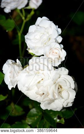 Inflorescence Of White Roses On A Dark Background.
