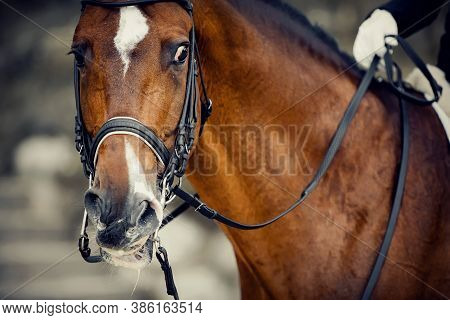 Portrait Sports Red Stallion  In The Double Bridle. Horse Muzzle Close Up. The Neck Of A Sports Hors