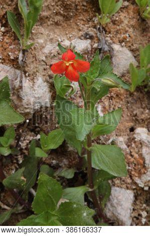 Cardinal / Scarlet Monkeyflower (mimulus Cardinalis) In Zion National Park, Utah