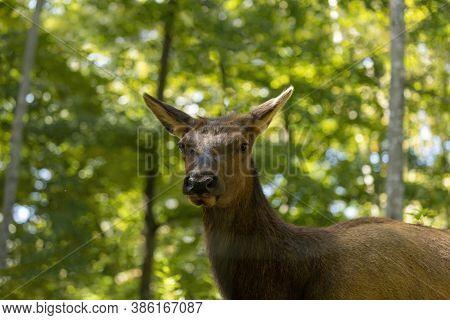 The Elk (cervus Canadensis) Or Wapiti. Head Female Close-up.