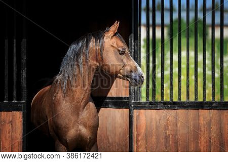 The bay horse stands at the exit of the stall outdoors. Welsh pony head looks out from the stable in summer.
