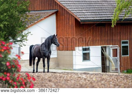 The black horse is standing next to the stables outdoors. Arabian horse and stables view in summer.