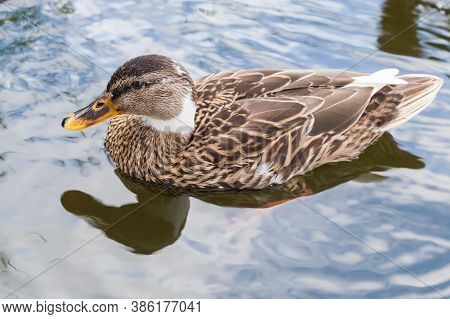 The Mallard, A Dabbling Duck Floating On Water. Close Up Photo