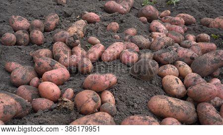 Potato Tubers On The Ground. Fresh Potatoes Dug Out Of The Ground On A Farm.