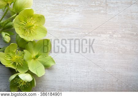 Background With Yellow Green Helleborus Viridis Or Christmas Rose On A Light Grey Bown Wooden Backgr